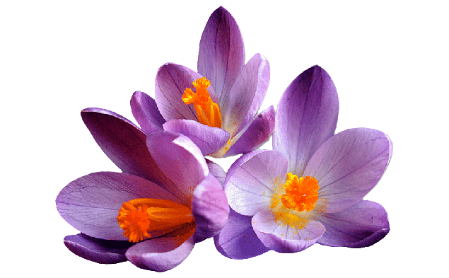 Saffron Flower Health Benefits, Nutritional value and Uses