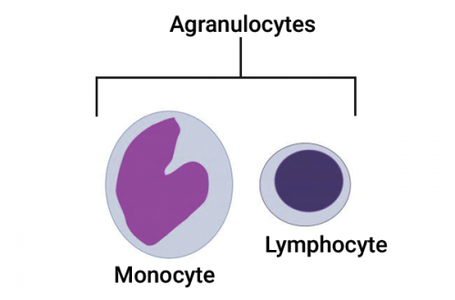 Examples of agranulocytes - white blood cells