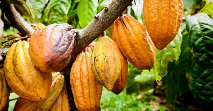 cacao fruit seeds plant benefits